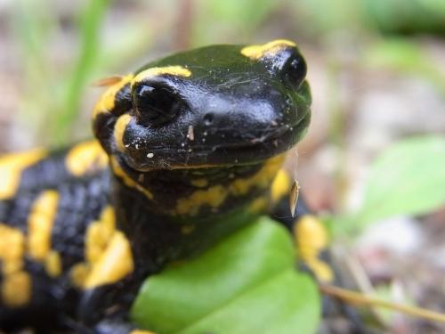 Feuer Salamander